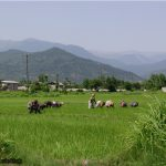 Ramsar rice field and mountain north of Iran