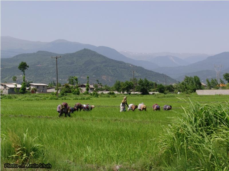 Ramsar rice field and mountain north of Iran